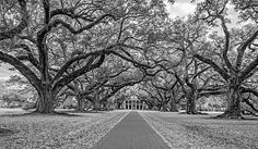Oak Alley Plantation Bw.  Oak Alley Plantation lies west of New Orleans on the Mississippi River. It is one of the iconic symbols of the Old South.