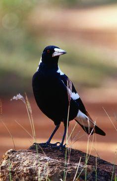 Australian Magpie (Gymnorhina tibicen).