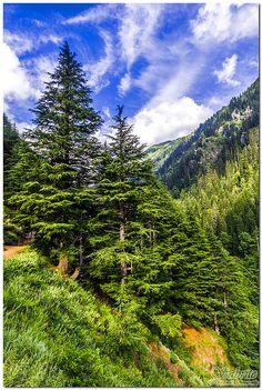 Cedrus deodara  National Tree of Pakistan  Beautiful Deodar trees standing tall :)  Ratti Gali Lake / Dowarian Lake Trek - 12130 ft ASL  Neelum Valley, Azad Jammu and Kashmir