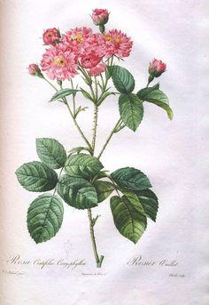Botanical - Flower - Les Roses 20