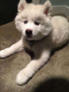 This guy who achieved some serious fluff volume. | 21 Fluffy Dogs Who Will Instantly Fill Your Cold Heart With Joy