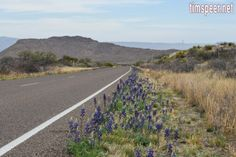 Bluebonnets along the main park road. Big Bend National Park, Texas. Photography by Tim Speer