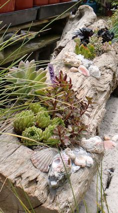 driftwood with succulents and shells