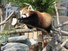 Red panda at Maruyama Zoo in Hokkaido, Japan