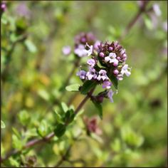 Featured Essential Oil Thyme Thyme Oil boosts Immunity and improves Concentration Thyme Oil has been used for centuries for respiratory and digestive troubles. It is one of the oldest plants on record; it was used for pest control 3,500 years ago and the Egyptians used it for embalming. The Greeks used it medicinally and bathed in it before battle for courage. It is best known for its antiseptic properties. Thyme essential oil also is known for being a powerful liver detoxifier, immune ...