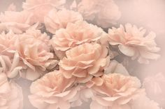 Lovely peach orange Rose flowers from the summer garden.  Photography art vertical design for your home or office decor,