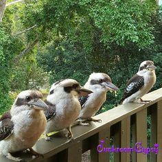 Laugh Kookaburra laugh... Pretty Birds, Beautiful Birds, Australia Animals, Australian Birds, Tier Fotos, Amazing Nature, Animal Kingdom, Cute Animals, Wildlife