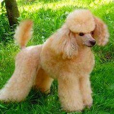 Той - пудель – происхождение породы, описание внешнего вида, темперамент породы. Характер, собаки, особенности породы. Фото собак породы «той - пудель»