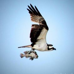 """#awesome @hawktotem  """"It's okay...I don't want to go for a ride!""""this poor little fish seems to say :( #osprey #birdsofinstagram #birds #fishing #fish #Matanzainlet #staugustine #staugustinebuzz #florida"""