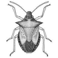 Insect illustration of the large and distinctive predatory shieldbug Picromerus bidens.