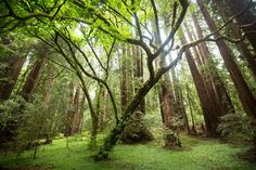 Picture of a moss-covered tree in Muir Woods, California