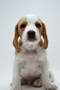 Beagle. From your friends at phoenix #dog in home #dog…