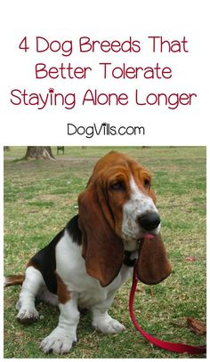 Which dog breeds better tolerate staying alone for longer periods? If you work outside the home, it's important to know before you adopt or start dog training! Best Dog Breeds, Best Dogs, Stay Alone, Separation Anxiety, Hound Dog, Old Dogs, Family Dogs, Dog Training Tips, New Tricks