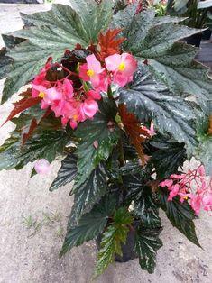 Flowering House Plants Begonia Plant Care Angel Wings Houseplants Indoor Pink Flowers Inside