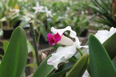 Main Street Florist Hawaii Orchid Nursery Tour