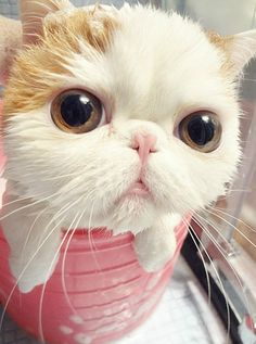 Snoopy the Exotic Shorthair - is this cat even real?