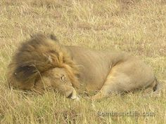 Lion we saw on safari in Tanzania.