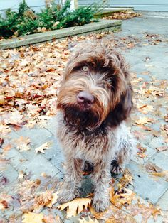 Stella ~ Wirehaired Pointing Griffon Pup ~ Classic Look