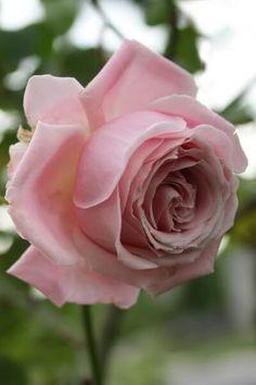 Hibrido,rosa de té.