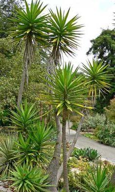 Yucca for height feature Tropical Garden, Tropical Plants, Succulents Garden, Garden Plants, Landscape Design, Garden Design, Spanish Garden, Edible Plants, Growing Tree