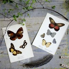 Antique Butterfly Specimen Print