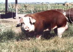 Hereford Hog  Herefords are adaptable and thrive both in outdoor operations and under confinement systems. They also do well in a wide variety of climates. The hogs are known for their quiet and docile dispositions, making them an excellent choice for young people. The breed is a-ppropriate for 4-H projects because it combines market conformation with a strikingly attractive appearance.