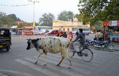 Indiens heliga kor.
