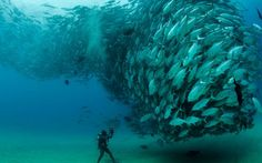 Amazing tornado of Jack fish in the waters of Cabo Pulmo National Park in Mexico captured by marine biologist Octavio Aburto.
