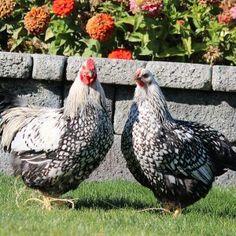Wyandotte Chicken, Beautiful Chickens, Chicken Coop Designs, Brown Eggs, Animal Science, Backyard Birds, Livestock, One Color, Poultry