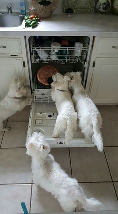 Westies in the dishwasher Westies, Westie Puppies, Cute Puppies, Dogs And Puppies, Chihuahua Dogs, Doggies, West Highland Terrier, Jiff Pom, Animals And Pets