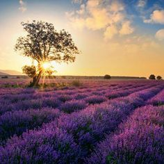The Norfolk - Lavender Fields Reed Diffuser Refill