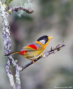 The Silver-eared Mesia (Leiothrix argentauris) is a species of bird in the Timaliidae family. It is found in Bangladesh, Bhutan, Cambodia, China, India, Indonesia, Laos, Malaysia, Myanmar, Thailand, and Vietnam.
