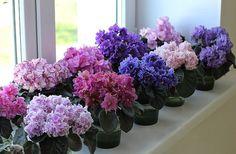 ciorapilor - Perfect Ask Little Flowers, Felt Flowers, Paper Flowers, Beautiful Flowers, Perennial Flowering Plants, Perennials, Indoor Flowers, Indoor Plants, Saintpaulia