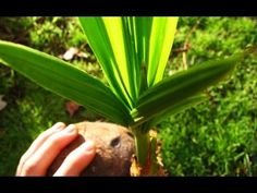 How To Grow A Coconut Tree From A Coconut