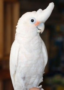 Goffin cockatoo - one of our dream birds! All of that awesome cockatoo personality at about half the size. ;-)