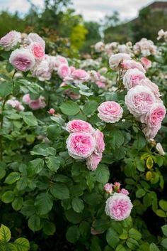Rose Garden in London Regent's Park