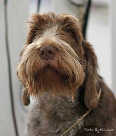 Italian Spinone from Stowledge Gundogs as seen on www.gundogbreeders.co.uk