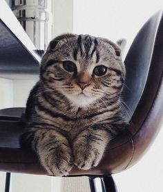 New Year's Resolutions & the cutest Scottish Fold cat ever