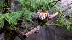 An red panda named Rusty vanished from the Smithsonian National Zoo in Washington, D., but was found in a nearby neighborhood a few hours later. Dc Zoo, Panda Names, Northeast India, Photo New, Whippet, Science And Nature, Beautiful Creatures, Animal Kingdom, Habitats