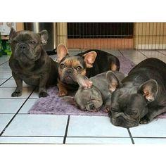 French Bulldog Family Love