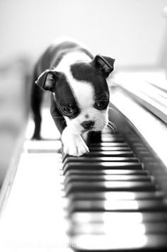 Boston Terrier puppy walking across piano keys. Black and white photo.
