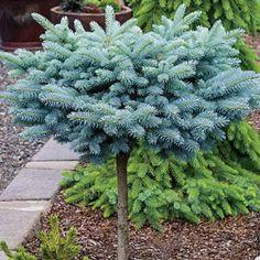 Mary's Broom Blue Spruce – Topiary Dwarf Trees For Landscaping, Front Yard Landscaping, Landscaping Ideas, Landscaping Borders, Mulch Landscaping, Unique Garden Decor, Unique Gardens, Topiary Plants, Garden Plants