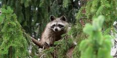 Zombie Raccoons are terrifying residents in Northeast Ohio |UFO Sightings Hotspot