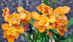 Saturday's Daily Jigsaw Puzzle – Freesia Gold Flowers