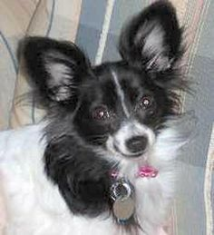 Gracelynn (in AR) is an adoptable Papillon  in Hot Springs, AR I am 5lbs. of energy. I jump up and down for the pure joy of being happy. I wag my tail so much ... ...Read more about me on @Petfinder.com.com.com