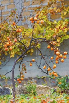 American Persimmon Tree Facts: Tips On Growing American Persimmons - While not grown commercially as much Asian variety, though having a richer taste, if you enjoy persimmon fruit, you may want to consider growing American persimmons. Click this article for American persimmon tree facts and tips to get you started.