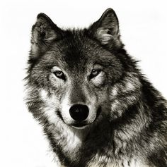 wolf sketch tattoo - Google Search