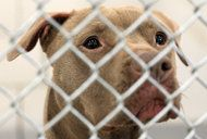 """Dog on Death Row released after 1 year and is going to be part of the group """"Pitbulls and Parolees"""" for rehabilitation. ♥"""