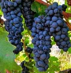 Pictorial guide to what makes #Lodi Zinfandel unique #wine