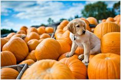 Puppy & Pumpkins! So Excited for Howl-o-ween!